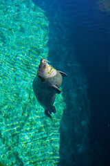 Common seal is swimming in the water