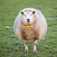 adult sheep stands in meadow and looks