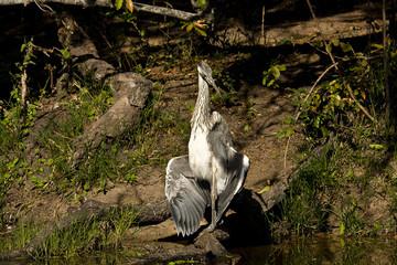 grey heron opening wings on the riverbank, Kruger