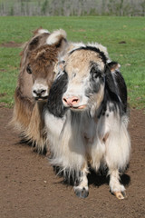 Deux yaks dans la steppe