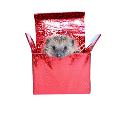 Little Hedgehog, getting out of a gift box