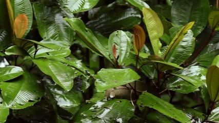 Rain falling in the rainforest, Ecuador