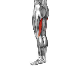 Conceptual 3D human back upper leg muscle anatomy