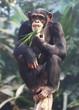 canvas print picture - essender Schimpanse