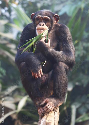 Foto op Aluminium Aap essender Schimpanse