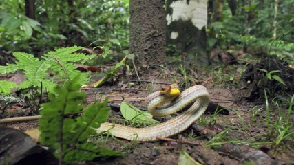 Olive whipsnake (Chironius fuscus) strikes at camera