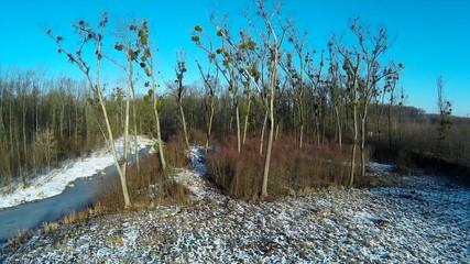 tree affected by mestletoe