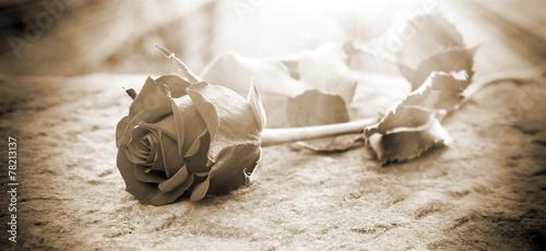 Leinwanddruck Bild Rose in the ligt