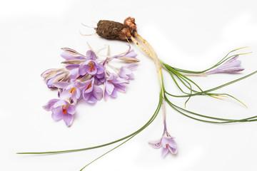 Friori di zafferano, saffron flowers