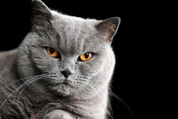 Grey british cat on black background