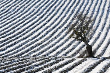 champ de lavande sous la neige
