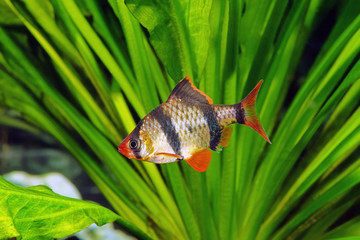 Tiger barb or Sumatra barb fish