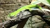 Taggecko (Phelsuma madagascariensis) Giant Day Gecko poster