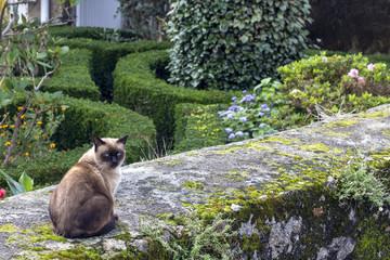 gato siamés en jardín