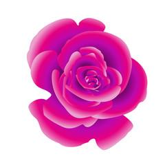 Single flower of purple rose. Vector.