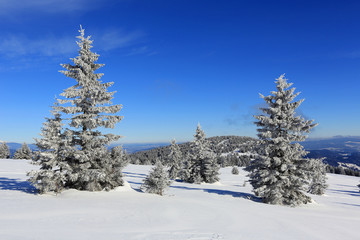 pines in winter mountains