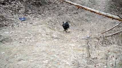 Dog running quickly to camera in forest