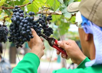 man worker picking grape during harvest