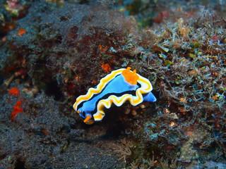 True sea slug, Island Bali, Tulamben