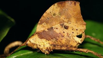 Leaf Mimic Katydid in the rainforest, Ecuador