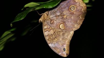Owl butterfly (Catoblepia soranus.), Ecuador