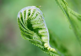 New shoots fern on a green background (lat. Polypodióphyta).