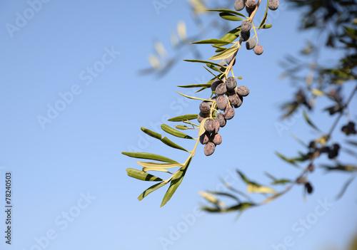 Keuken foto achterwand Olijfboom Olivenzweig