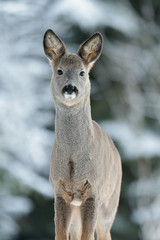 Roe deer portrait in winter