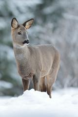 Roe deer on snow at winter