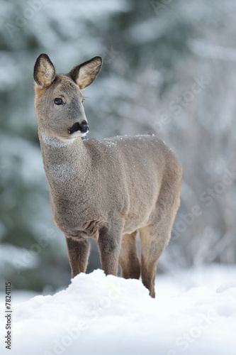 Papiers peints Roe Roe deer on snow at winter