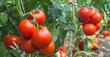 Leinwanddruck Bild - Growth tomato