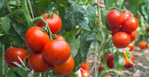 Growth tomato - 78242902