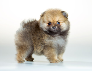 Pomeranian puppy over white background