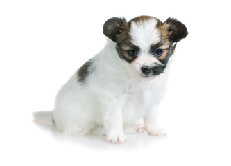 Cute puppy of breed papillon
