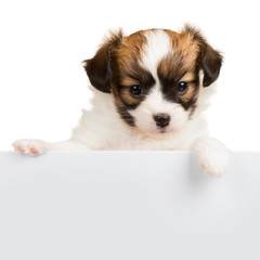 Cute little puppy Papillon leans on blank banner