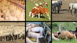 Farm animals collage, cow, horse, chick, pig, sheep, goat, goose