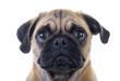 Crying Pug Dog closeup over white background