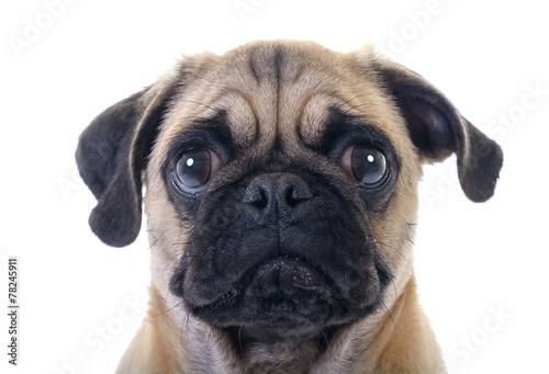 Fototapeta Crying Pug Dog closeup over white background