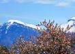 canvas print picture - Kirschbluete am Gardasee