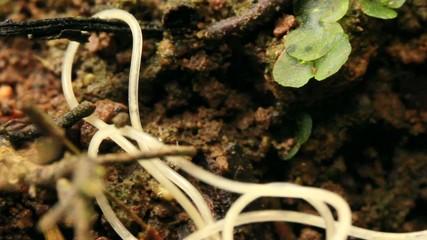 Nematode worm (roundworm)
