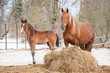 Red mare with a foal walking in the paddock
