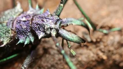 Large longhorn beetle (Cerambycidae)