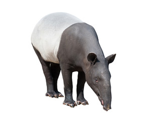 Malayan tapir or Asian tapir isolated