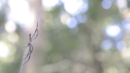 Golden Orb-weaver spider on web move with wind under the bokeh