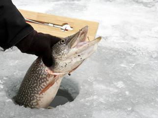 Northern Pike caught ice fishing