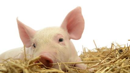 Piglet lying in straw