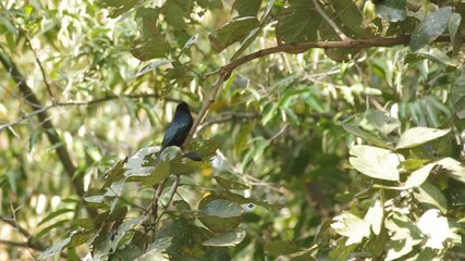 Greater Racket-tailed Drongo on the tree is flying away