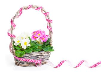 Blumenkorb mit Primeln und Band