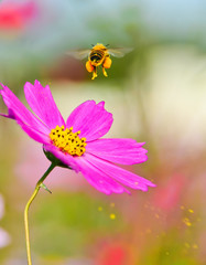 A honeybee taking off from a flower with some pollen spraying.