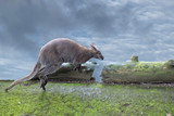 kangaroo while jumping on the cloudy sky background